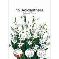 Acidanthera Peacock Orchid Bulbs 12 Pack