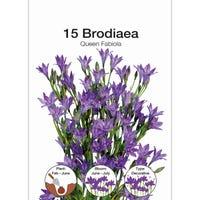 Brodaiae Bulbs 15 Pack