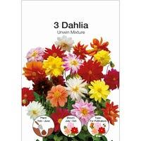 Dahlia Unwin Mixed bulbs 3 Pack