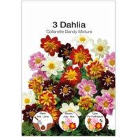 Dahlia Collarette Dahlia Bulbs 3 Pack