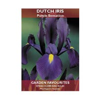 Dutch Iris Purple Sensation Bulbs 10 Pack