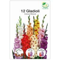 Gladioli Bulbs Mixed Colours 12 Pieces