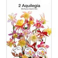 Aquilegia McKana Mixed Bulbs 2 Pack