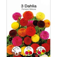 Dahlia Pompon Bulbs 3 Pack