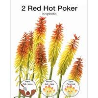Kniphofia Red Hot Poker Bulbs 2 Pack