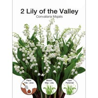 Lily Of The Valley Convallaria Majalis Bulbs 2 Pack
